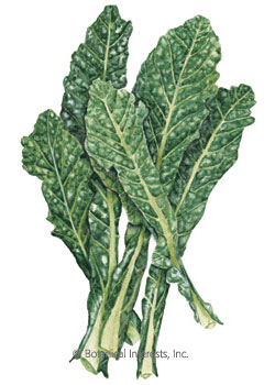 Kale Italian Lacinato Nero Toscana HEIRLOOM Seeds