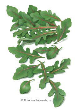 Arugula Wild Red Dragon Seeds