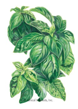 Basil Italian Large Leaf HEIRLOOM Seeds