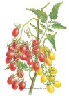 Tomato Grape Jelly Bean Red & Yellow Seeds