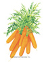 Carrot Baby Little Finger HEIRLOOM Seeds