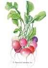 Radish Easter Egg Blend Seeds