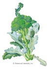 Broccoli Waltham 29 HEIRLOOM Seeds