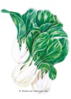 Bok Choy Toy Choy Seeds
