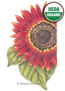 Sunflower Evening Sun Organic HEIRLOOM Seeds