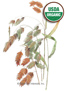 Grass Northern Sea Oats Organic HEIRLOOM Seeds