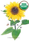 Sunflower Lemon Queen Organic HEIRLOOM Seeds