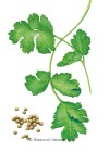 Cilantro/Coriander Sabor HEIRLOOM Seeds