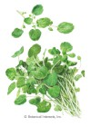 Watercress HEIRLOOM Seeds